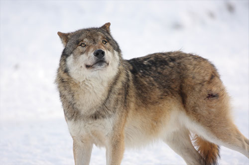 Gray Wolf Facts: A gray wolf in front of snow.