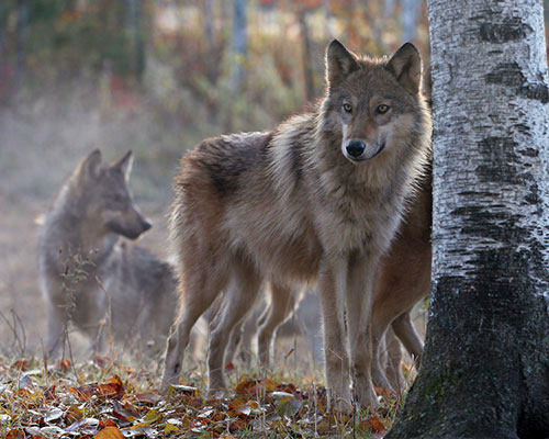 Gray wolf pictures: gray wolves standing by a tree.