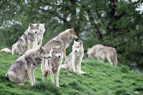 Gray wolf behavior: a pack of gray wolves.