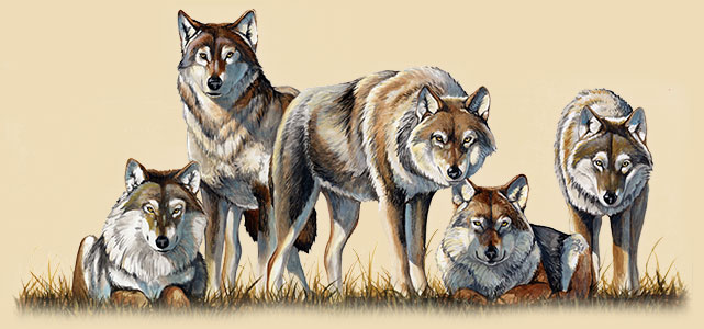 Artwork of a pack of gray wolves
