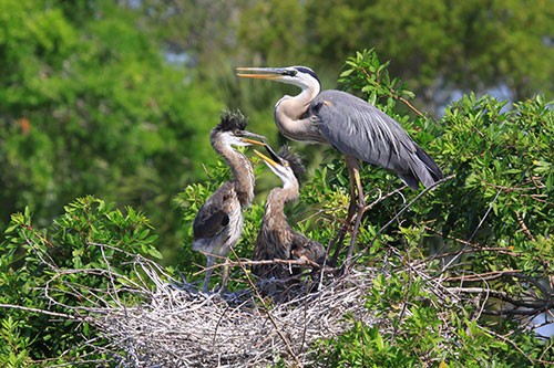 Great Blue Heron Information: A great blue heron bringing back food to its young at the nest.