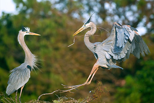 Great Blue Heron Facts: A great blue heron coming back to the nest with nesting materials.