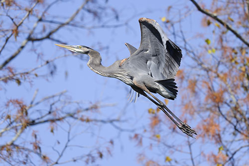 A picture of a great blue heron taking off, framed by trees.