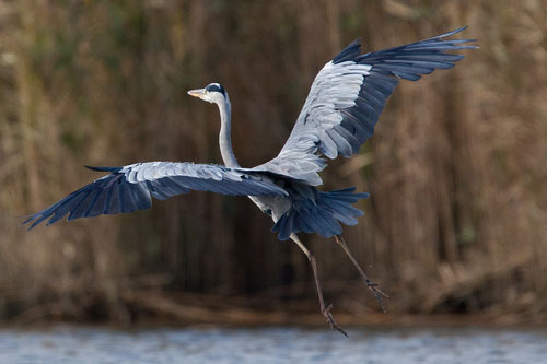 Great Blue Heron Pictures: A great blue heron in flight.