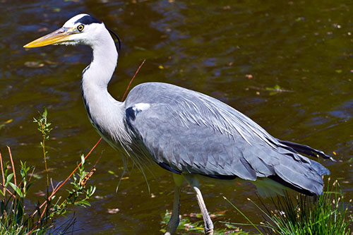 A great blue heron wading in a marsh.