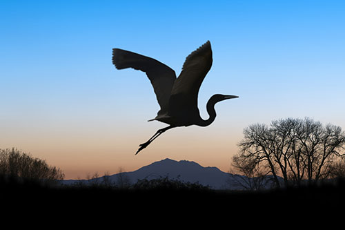 Great Blue Heron Information: A silhouette of a great blue heron taking off.