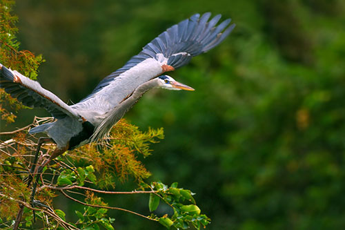 Great Blue Heron Facts: A great blue heron taking off from a tree