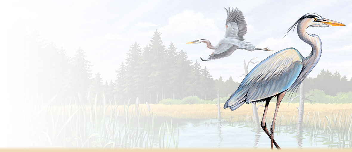 Great Blue Heron facts, information, photos, habitat, and nesting behavior.