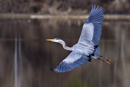 Great Blue Heron Photos: A majestic great blue heron in flight.