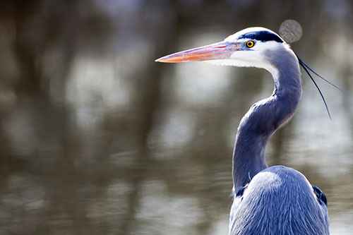 Great Blue Heron Facts: A photo of a great blue heron up close.