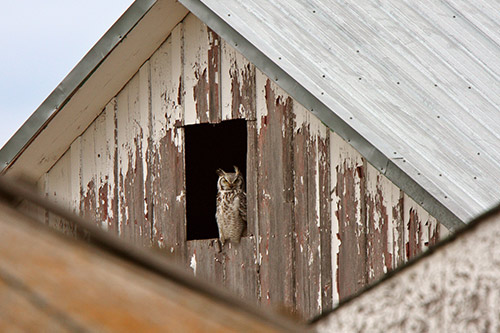 Great Horned Owl Information: A great horned owl in a barn window.