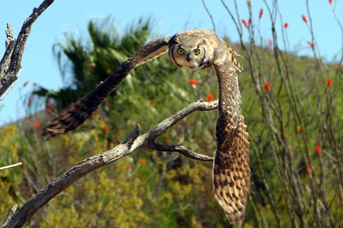 Great Horned Owl Information: A great horned owl flying after pray