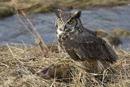 Great Horned Owl Information: A great horned owl with some prey it caught.