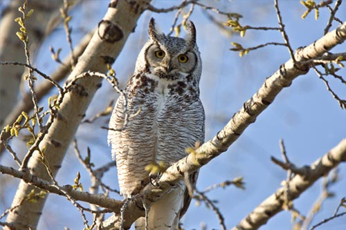 A Great Horned Owl in a tree