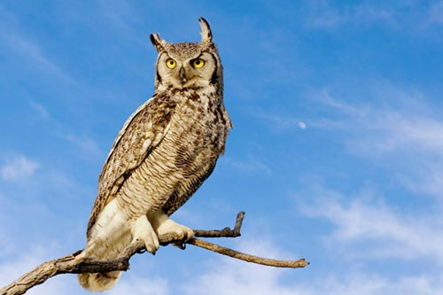 Great Horned Owl Facts: A great horned owl in front of a blue sky.