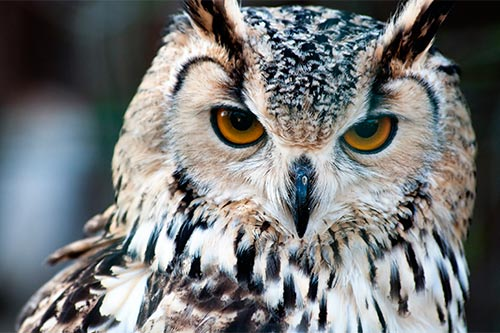 Great Horned Owl Pictures: A photo of a lighter colored great horned owl.