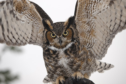 Great Horned Owl Photos: A great horned owl with its wings spread.