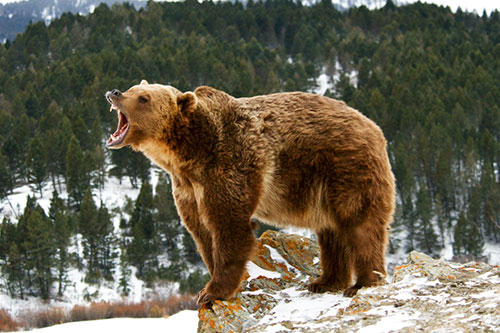 Grizzly Bear Facts - Grizzly bears are considered the dominant predator in their range.
