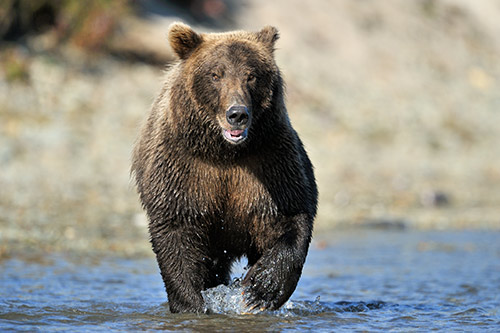 A grizzly bear running through the water.