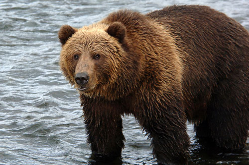 A grizzly bear standing in the water.
