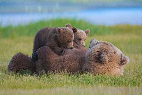 A grizzly bear mother nursing her cubs.