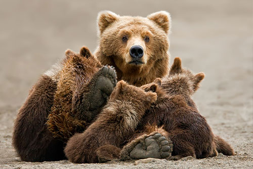 A grizzly bear mother with her cubs.