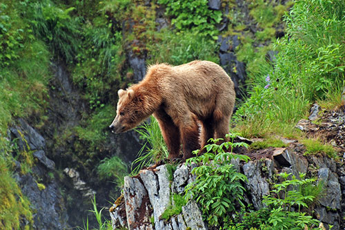Grizzly Bear Facts Information And Photos
