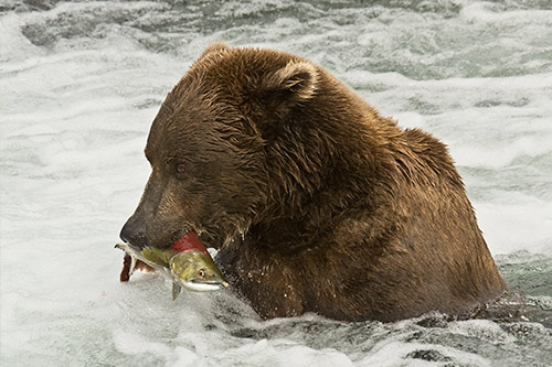 A grizzly bear with a salmon in its mouth.