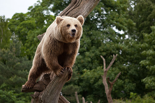 Grizzly Bear Facts - Grizzly bears are excellent climbers.