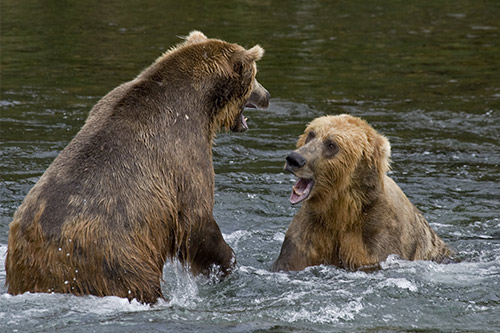 Two grizzly bears fighting over fishing territory.