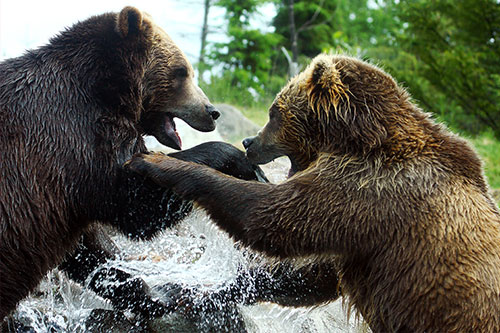 2 grizzly bears fighting.