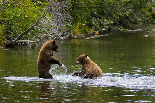 2 grizzly bears playing in a stream.