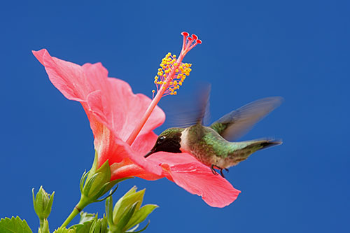 Ruby Throated Hummingbird Information: A ruby throated hummingbird drinking from a flower.