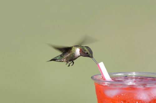 Ruby Throated Hummingbird Photos: A ruby throated hummingbird grabbing a sip from a straw.