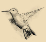 Sketch of a ruby-throated hummingbird.