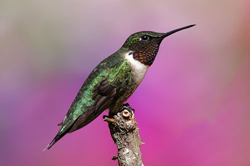 Ruby Throated Hummingbird Facts: A ruby throated hummingbird at rest.