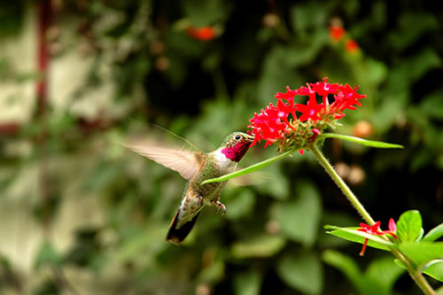 Ruby Throated Hummingbird Information: A ruby throated hummingbird drinking nectar from a colorful flower