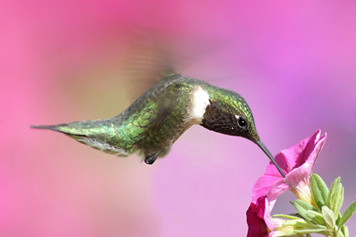 Ruby Throated Hummingbird Photos: A ruby throated hummingbird drinking from a pink flower.