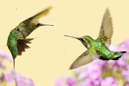 Ruby Throated Hummingbird Facts: A ruby throated hummingbird grabbing a sip from a straw.
