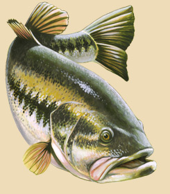 A swimming Largemouth Bass.