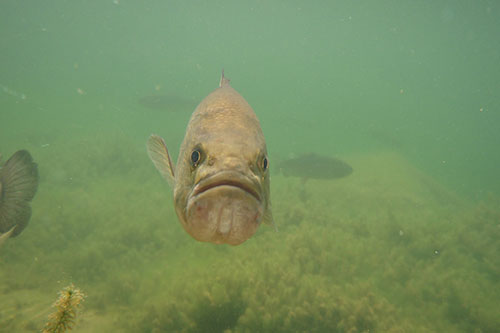 Front view of a largemouth bass.