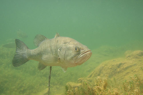 A largemouth bass in murky water.