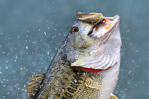 A largemouth bass leaping from the water with a hook in its mouth.