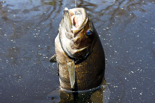 A largemouth bass on a fishing line.
