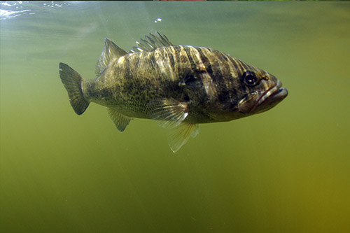 A largemouth bass swimming below the surface.