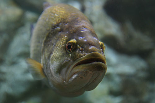 A largemouth bass underwater.