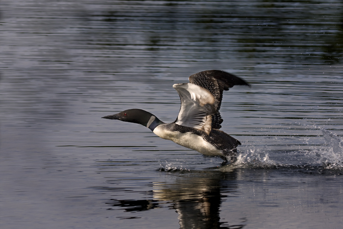 loon lift off