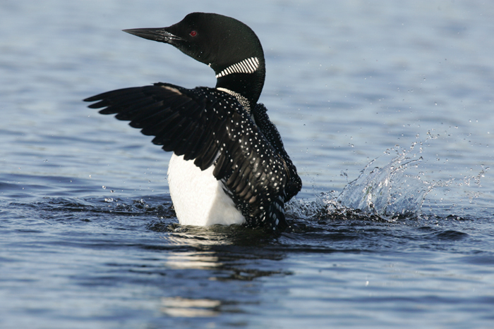 loon wings
