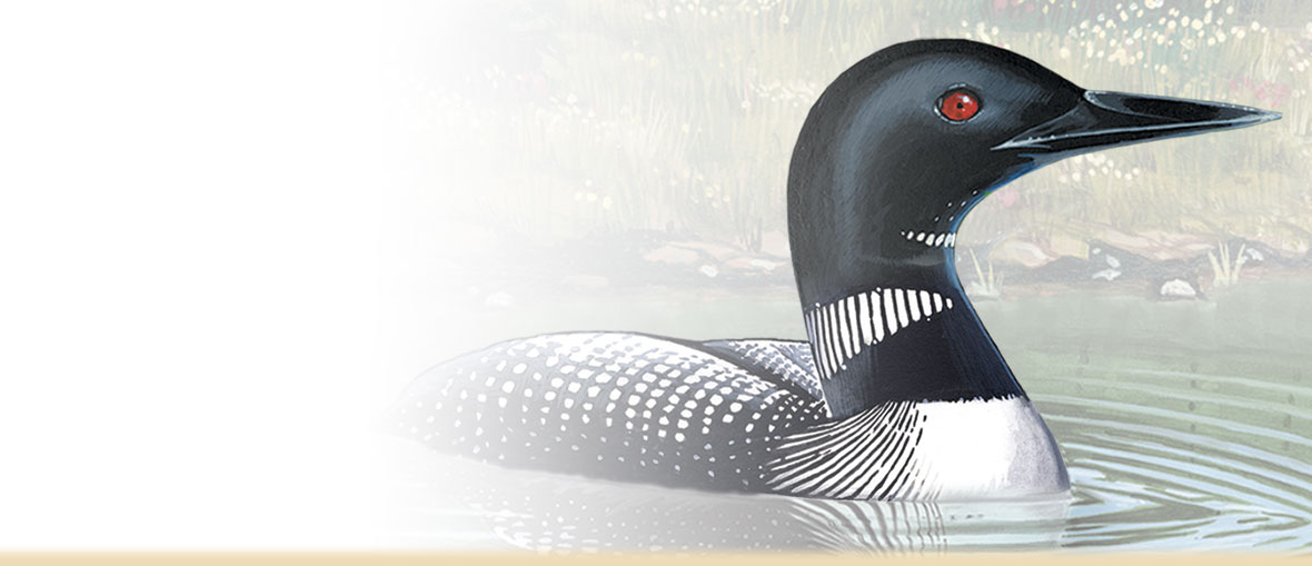 Painting of a Common Loon