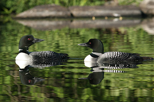 Common Loon Facts: A pair of Common Loons on the water.